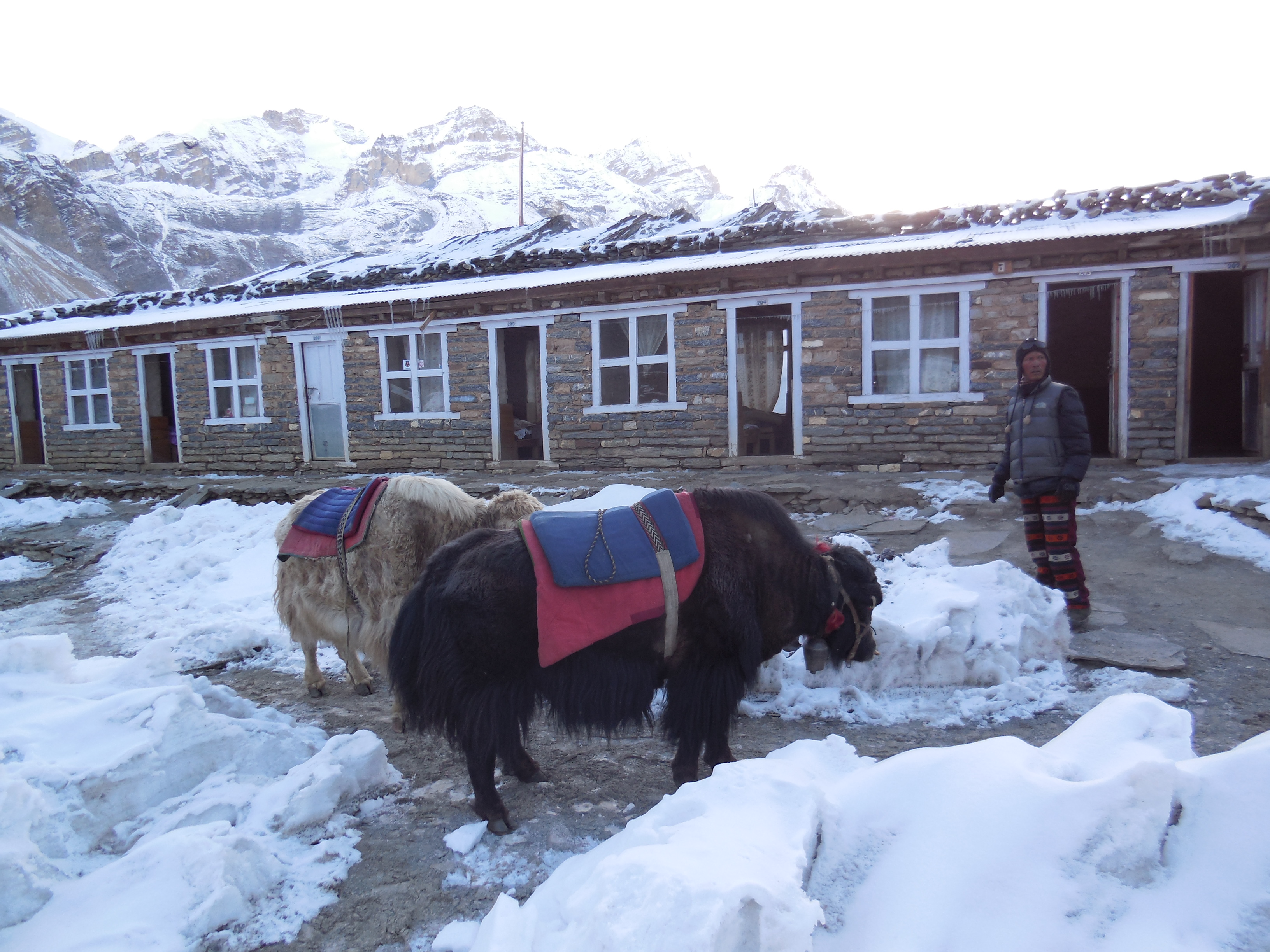 Yak Business. People can hire a yak guide and ride on the yak up to Thorung La. I think it cost something around 200 Dollar